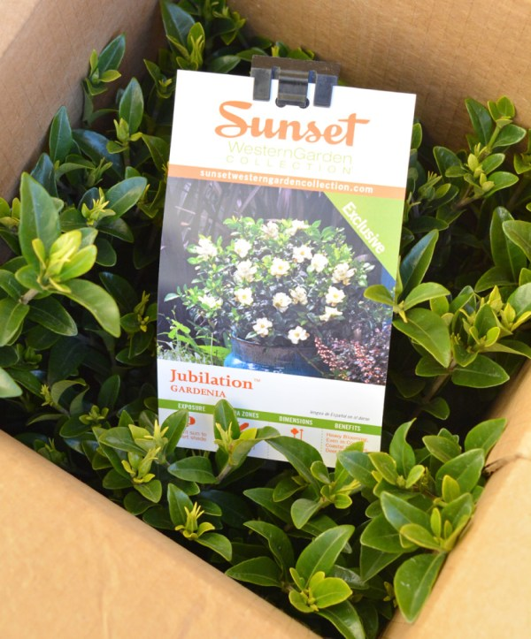 jubilation gardenia box
