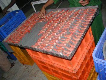 EE:UU: Funcionarios respaldan aranceles antidumping para el langostino