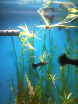 El acuario de los Tuxedos negros. Estos guppies han resultado ser bastante prolíficos, particularmente pendencieros y bastante exigentes con la calidad del alimento.