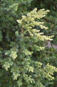 Conifers Bolster The Winter Garden Lewis Ginter Botanical Garden intended for [keyword