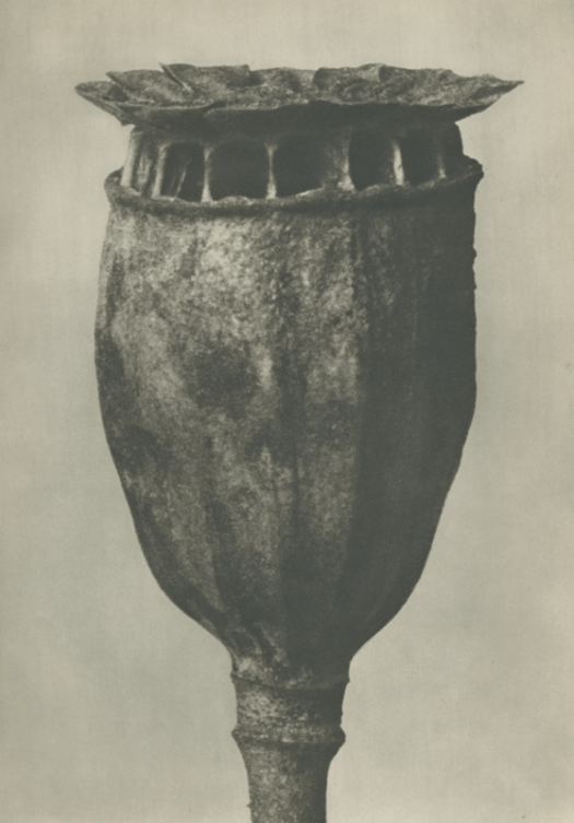 Karl Blossfeldt Papaver, available at the Michael Hoppen Gallery