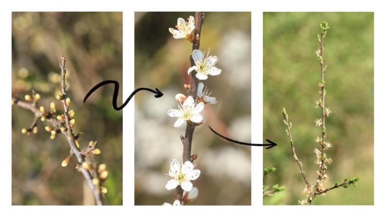 étapes de la floraison du prunellier