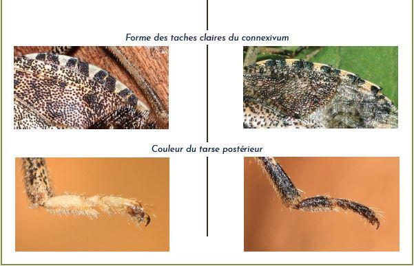 comparaison des punaises diabolique et nébuleuse page 2