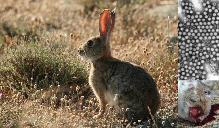 Virus altamente contagioso y letal se está propagando en Estados Unidos, sus víctimas son conejos.