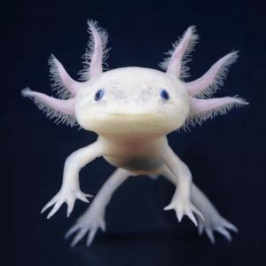 Axolotl en peligro de extinción. Crédito: Reddit.
