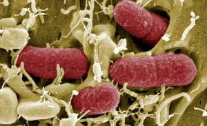Científicos británicos crean bacteria sintética, inmune a cualquier infección viral.
