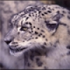 Kar Leoparı, Kullanıcılarını Yedi!