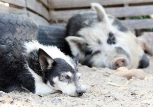 old holistic dog and pig