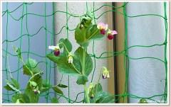 豆苗のグリーンカーテン