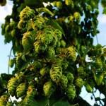 Qué es una cerveza estilo IPA (India Pale Ale) Historia de la IPA.