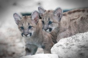 cougarcubs