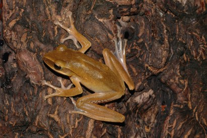 Ishan Agarwal. Polypedates sp. 2004. Eaglenest Wildlife Sanctuary, Arunachal Pradesh.