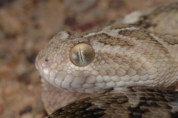 Ishan Agarwal. Echis carinatus sochureki. 2007. Sam, Jaisalmer District, Rajasthan.