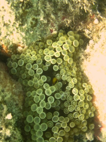 Anne H. Theo. Amphiprion clarkii. 2011. Lakshadweep.