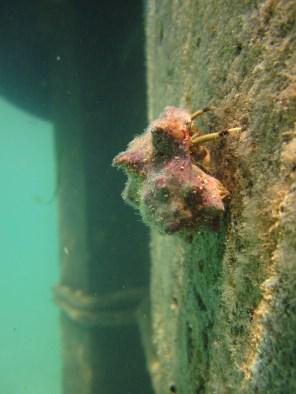 Anne H. Theo. Hermit crab. 2011. Lakshadweep.