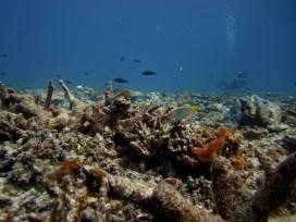 Anne H. Theo. Paracirrhites arcatus arc eye hawkfish and Halichores hortul. 2011. Lakshadweep.