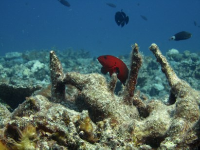 Anne H. Theo. Red Grouper. 2011. Lakshadweep.