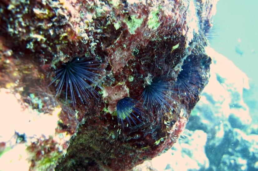 Anne H. Theo. Sea Urchins. 2011. Lakshadweep.