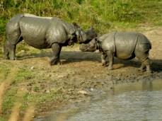 Karpagam Chelliah. Rhinos. 2009. Kaziranga.