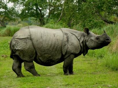 Karpagam Chelliah. Rhino. 2012. Kaziranga.