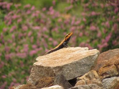 Shreekant Deodhar. Psammophilus dorsalis lantana male. 2011. Rishi Valley.