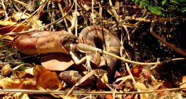 Shreekant Deodhar. Sand boa eating lizard. 2012. Rishi Valley.
