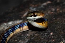 Ashok Kumar Mallik. Common Bronzeback snake. 2010. IISc Bangalore.