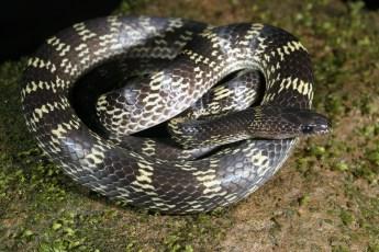 Saunak Pal. Lycodon travancoricus. 2011. Coorg, Karnataka.