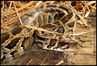 Sanjeeta Sharma Pokharel. Rock Python. 2011. Gharial Captive Breeding Center, Kasara, Nepal.
