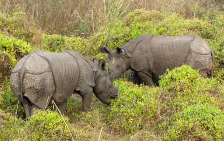 Sanjeeta Sharma Pokharel. One-horned Rhinos. 2011. Chitwan National Park, Nepal.