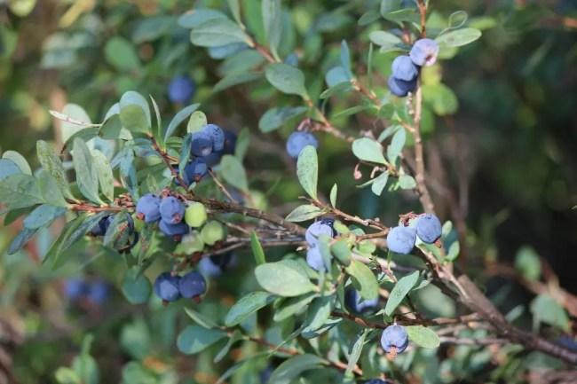 blueberry-410654_960_720