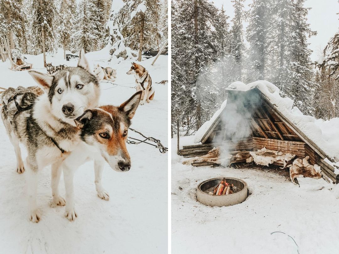 Laponie Finlandaise chien de traineau
