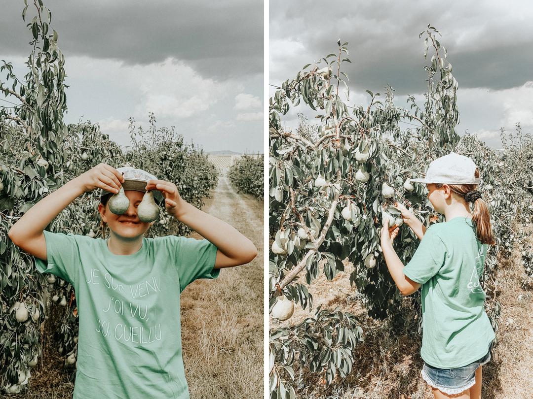 La cueillette des curieux, on a ramassé des poires