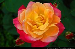 thumb_une-jolie-rose-01