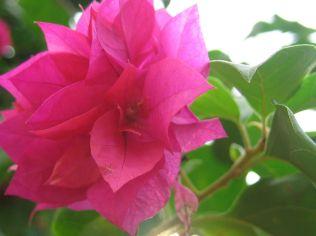 Magenta Blüte