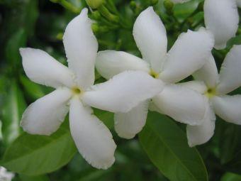 Weisse Blume in Indien