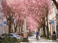 Rosa Straßen während der Kirschblüte in Bonn