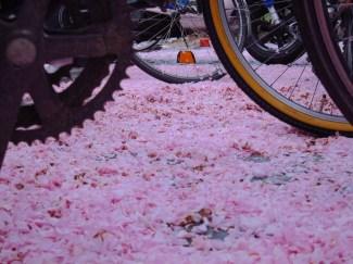 Nach ungefähr einer Woche kommt auch der schönste Blütenzauber unter die Räder...