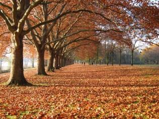 Die Bonner Platanenallee. Im Herbst das schönste Plätzchen in Beuel