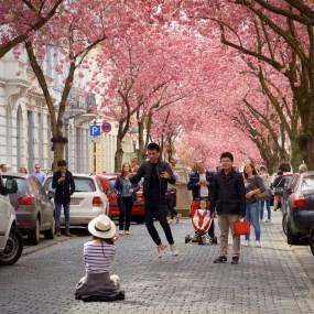 Vor Begeisterung über die Kirschblüten macht so mancher Besucher kleine Luftsprünge...