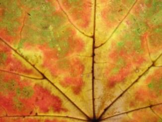 Herbstblatt I
