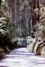 Australien - Kurvige Straße durch einen Eukalyptuswald