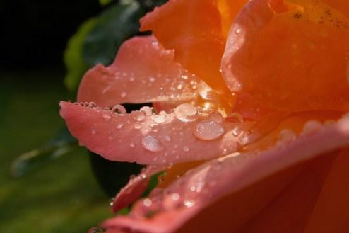 Makro Aufnahme einer Blüte nach dem Regen