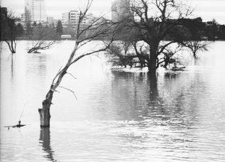 Tote und überschwemmte Bäume am Rheinufer