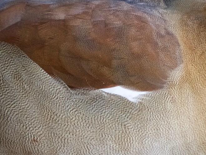 Federkleid mit Mustern einer Nilgans