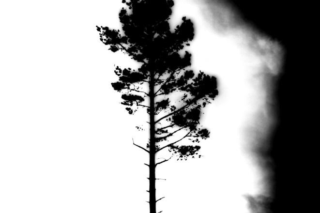 Wie ein brennender Baum oder eine Tuschezeichnung sieht dieser einsame Baum auf einer Lichtung im Wald aus