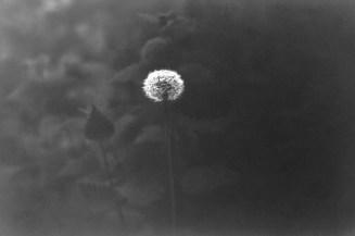 Dunkles Bokeh aus Blättern und Hecken hinter dieser Pusteblume an einem trüben Maitag im Wald