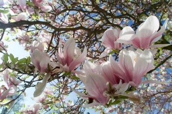Eine blühende Magnolie im April