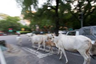 Vorbeitrottende Kühe bei den Lodi Gardens in New Delhi
