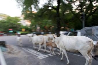 New Delhi, bei den Lodi Gardens - vorbeitrottende Kühe